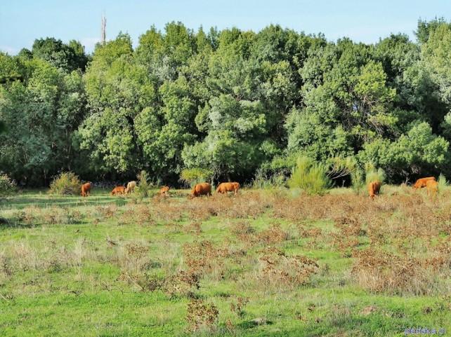 Byki z Guisando