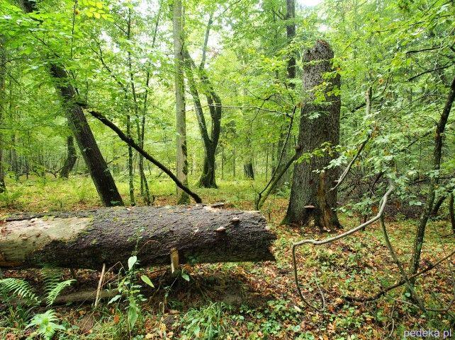 Puszcza Białowieska rezerwat ścisły