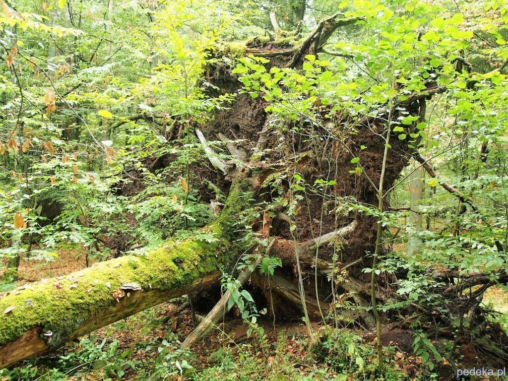 Puszcza Białowieska. Rezerwat ścisły, powalone drzewo