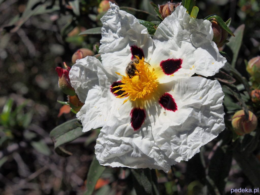 Las Medulas. Pognieciony kwiat