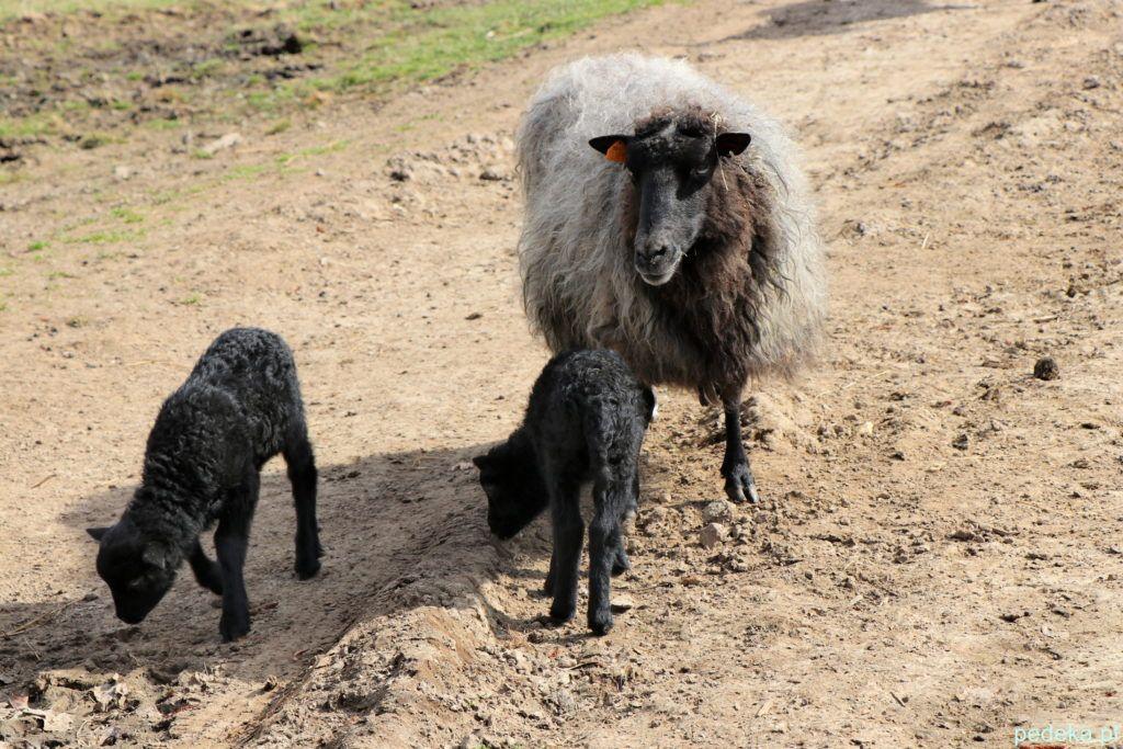 Biskupin. Malutkie owieczki