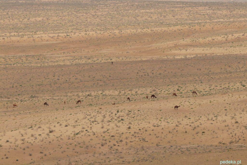 Wielbłądy na pustyni na Pustyni Kyzył-kum