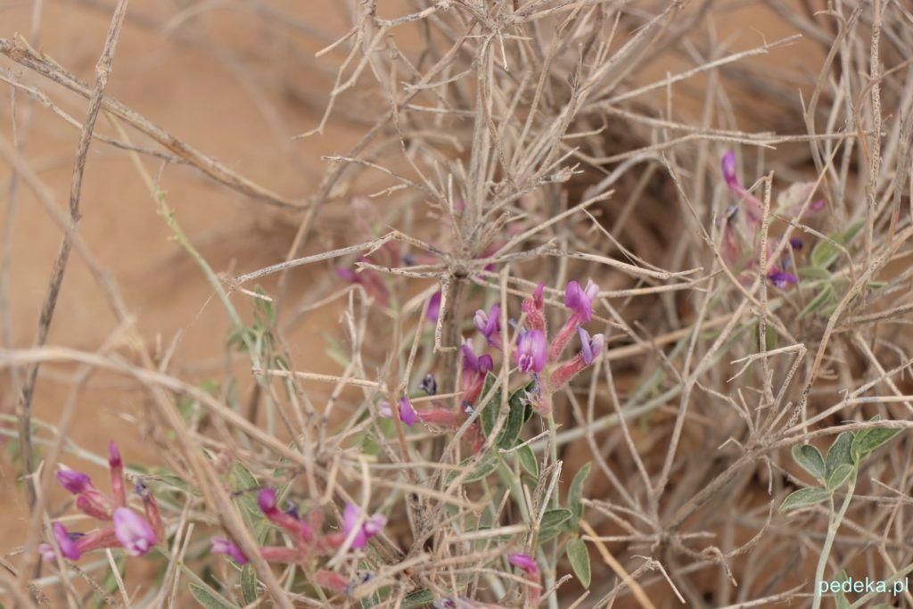 Wycieczka z Chiwy na Pustynię Kyzył-kum. Kwiatki