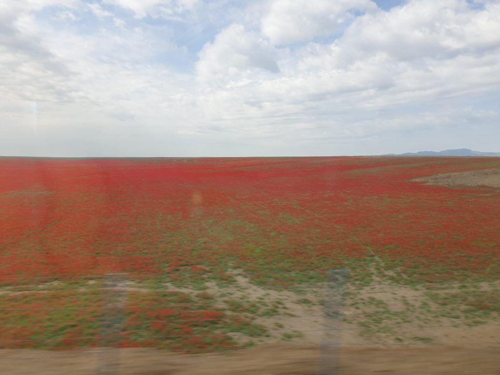 Podróż z Samarkandy do Chiwy. Pole pełne maków