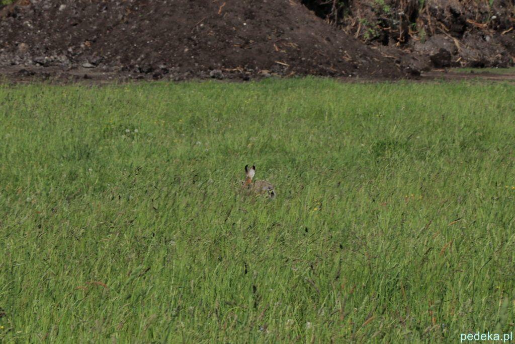 Zając, tylko mu uszy wystają z trawy
