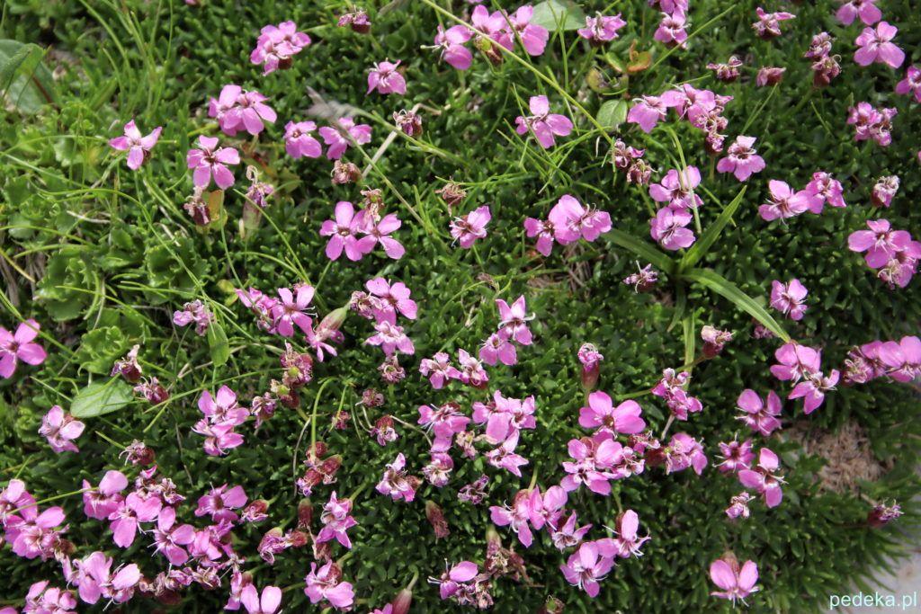 Alpejskie kwiatki