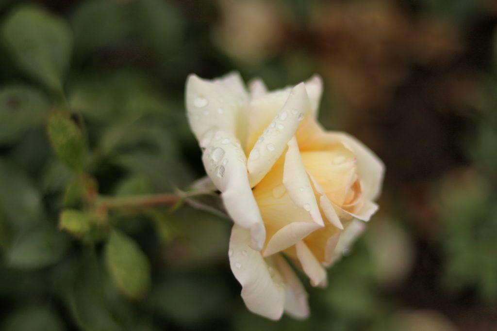 Bamberg. Róża w ogrodzie różanym