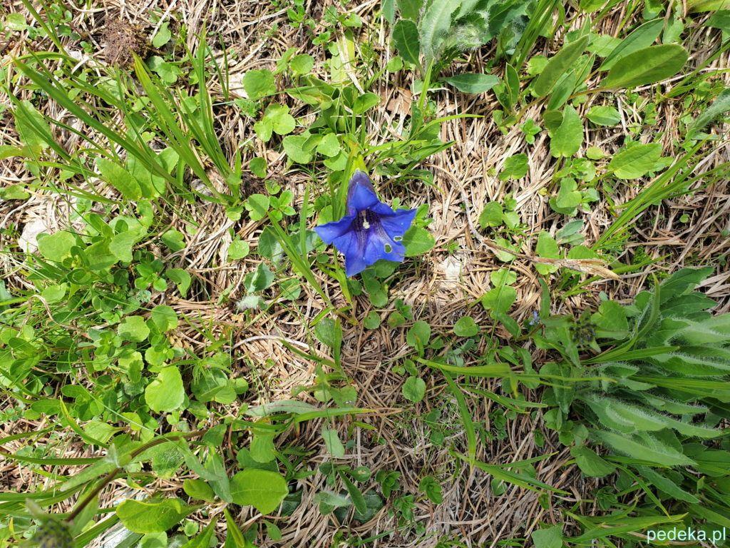 Jeszcze jeden alpejski kwiatek