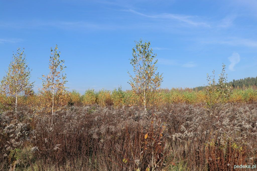 Puszcza Knyszyńska. Drzewa na polanie przed lasem