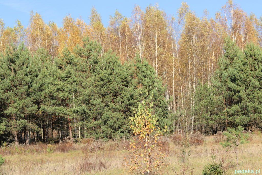 Puszcza Knyszyńska. Drzewa w jesiennej szacie