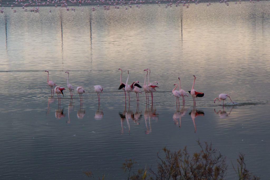 Larnaka. Flamingi