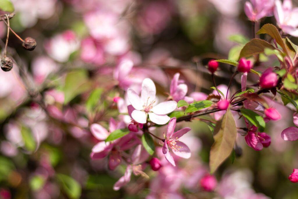 Pole Mokotowskie. Różowe kwiaty na drzewie