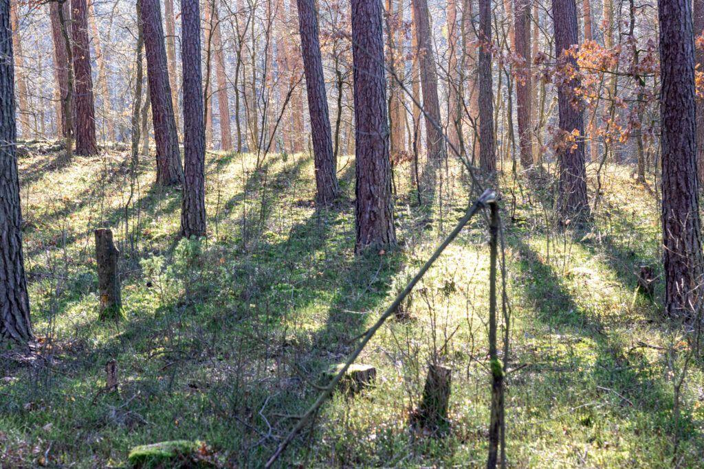 Przyroda wokół Warszawy. Drzewa w Puszczy Kampinoskiej