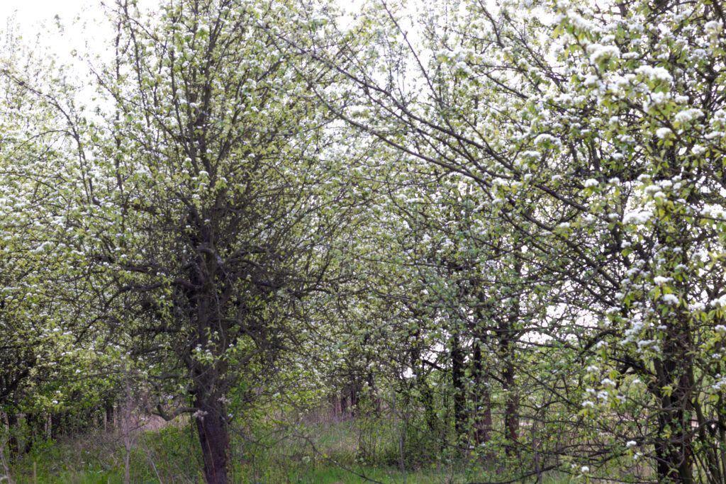 Przyroda wokół Warszawy. Drzewa owocowe