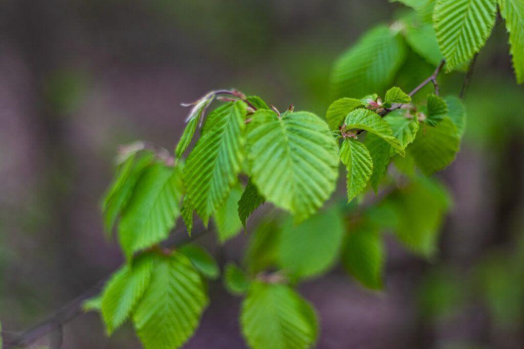 Świeże, zielone liście