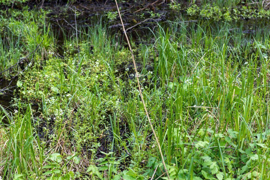 Szumy nad Tanwią, soczysta zieleń