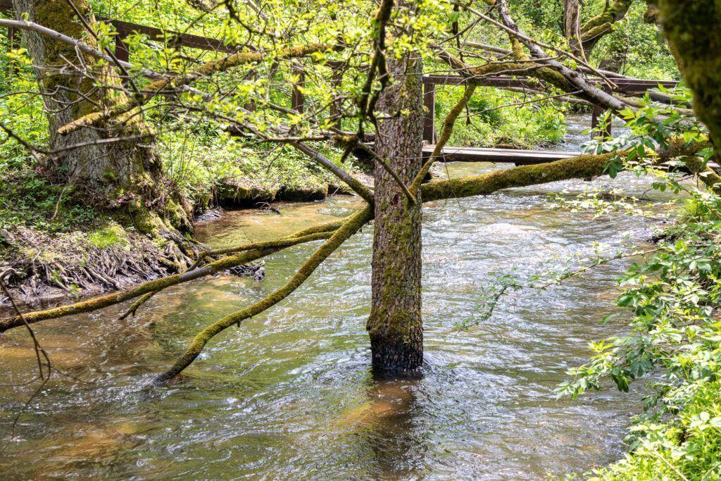 Plątanina drzew