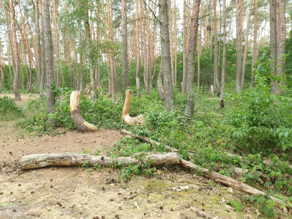Krzywy Las po wycince
