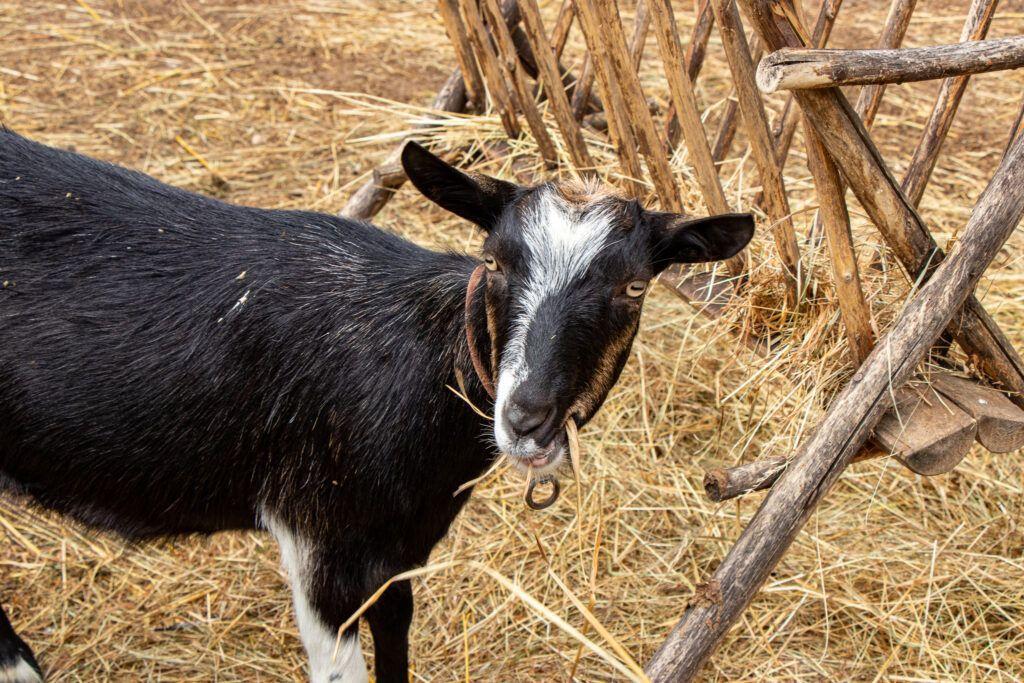 Spotkaliśmy też kozy