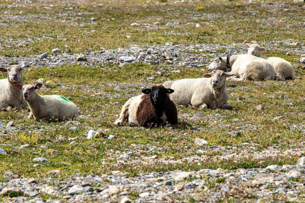 Leukerbad do schroniska Lämmeren , owce dziwią się, dokąd idziemy