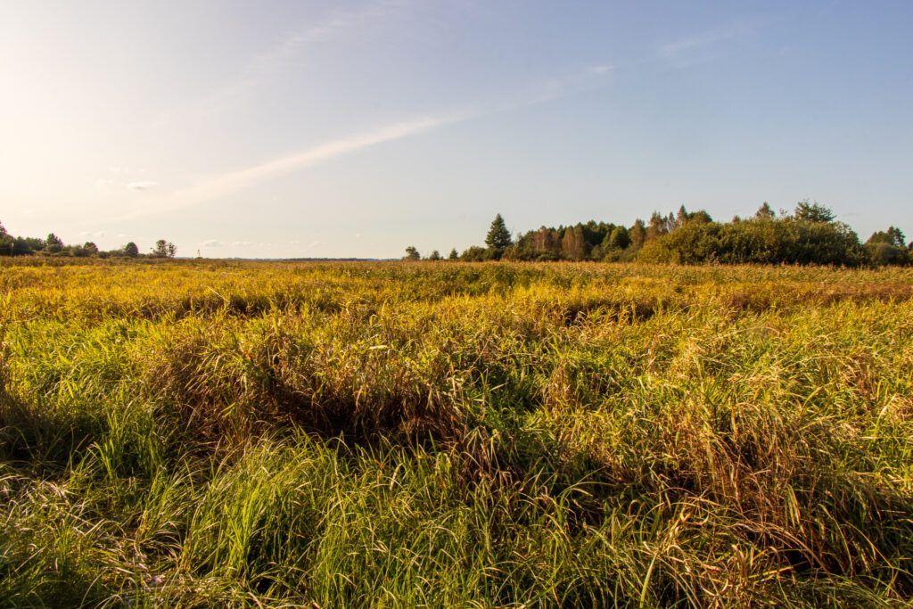 Szlak Gugny-Barwik, Żółte trawy