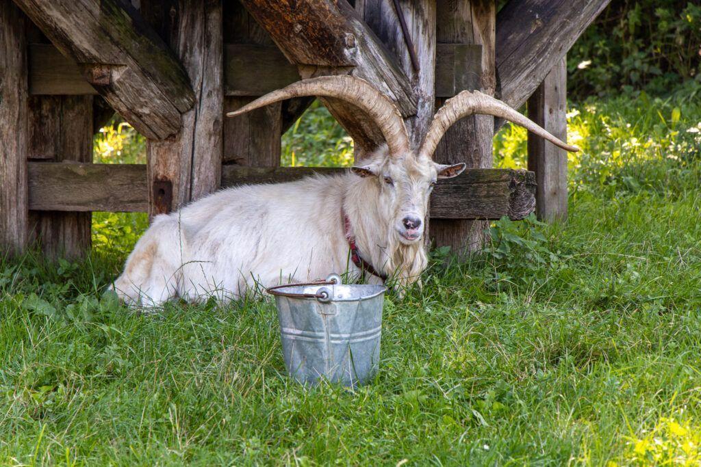 Koza w skansenie