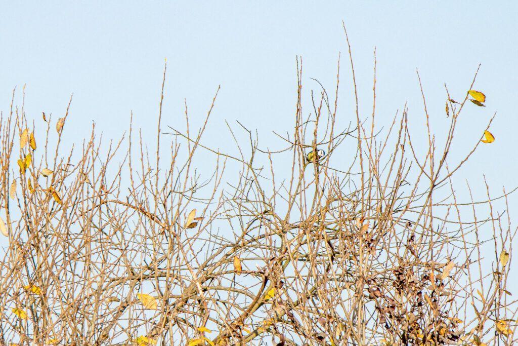 Sikorka na drzewie