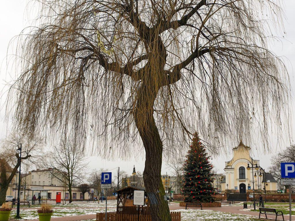Góra Kalwaria, drzewo upamiętniające dawnych mieszkańców