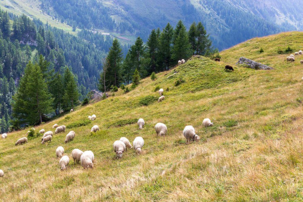 Leukerbad 2021. Owce na łące